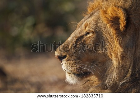 A big male lion looks at the sunrise on a warm morning in Africa