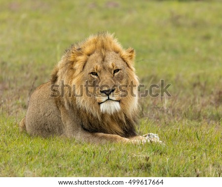 A big male lion lying down on a green plain and looking at the camera
