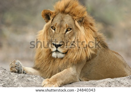 A big male lion lying on a termite mound
