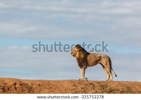 A big male lion stands looking out over his territory on a beautiful day in South Africa - stock photo