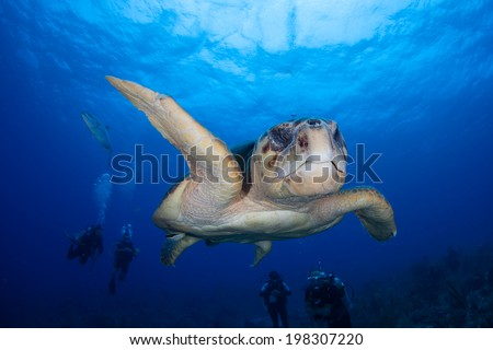 A big male Loggerhead turtle (Caretta caretta) cruises over a coral reef off Turneffe Atoll in Belize. This endangered turtle is relatively common in Caribbean region but found throughout the world. - stock photo