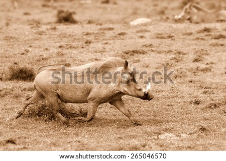 A big male warthog / wild pig running with his tail up in this sepia tone image - stock photo