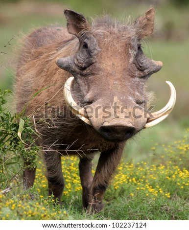 A big male warthog with huge tusks stands head on in this portrait from Addo national elephant par,eastern cape,south africa - stock photo
