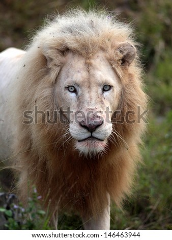 A big male white lion stares at the camera after feeding on his kill. The blood on the face against his unique white fur. Taken in South Africa