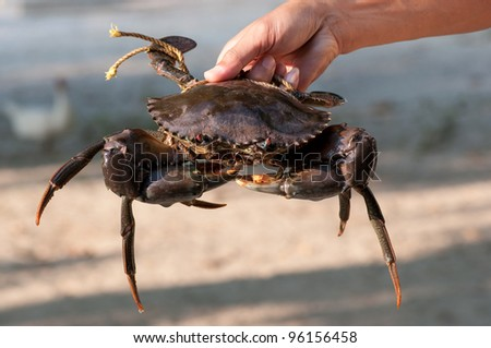 a big mangrove crab in the hand - stock photo