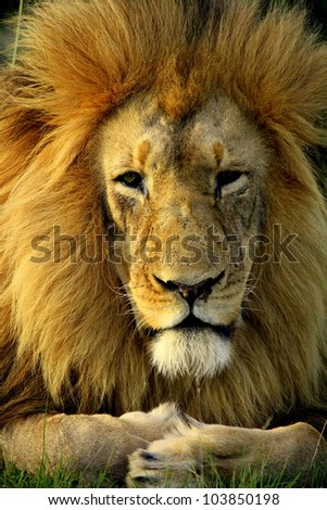 A big mature khalahari black maned lion rests and crosses his paws in this front on portrait.Taken in Addo elephant national park,eastern cape - stock photo