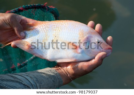 a big nile tilapia in hands