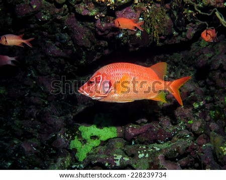 A big nocturnal red squirrelfish shying under a coral ledge - stock photo