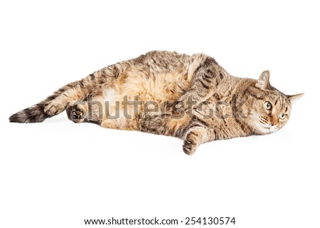 A big overweight mixed breed tabby cat laying with its head on the ground.  - stock photo