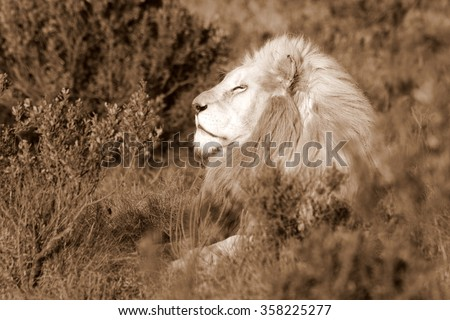 A big pure white male lion in beautiful morning light. Taken on a wildlife safari in South Africa.