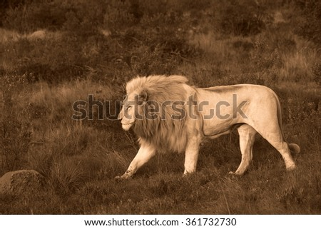 A big pure white male lion in this photo taken on safari in Africa - stock photo