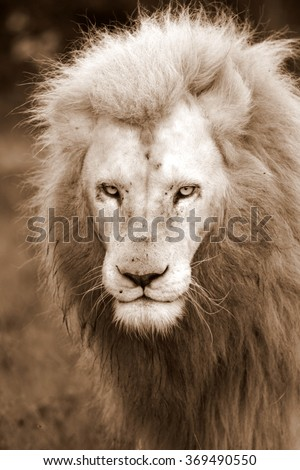 A big pure white male lion in this photo taken on safari in Africa. - stock photo