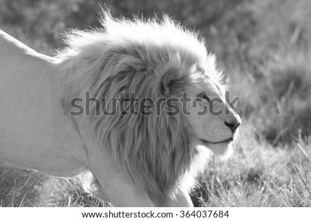 A big pure white male lion stretching in this photo taken on safari in Africa. - stock photo