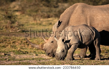 A big rhinoceros / rhino and new born baby in this photo. - stock photo