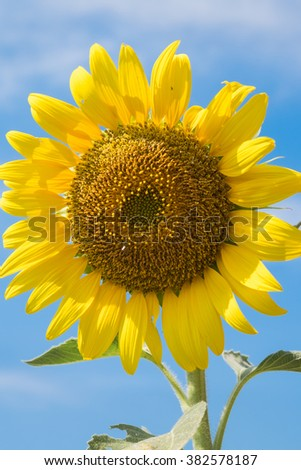 a big sunflower so beautiful to use background wallpaper