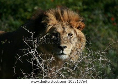 A big tawny male lion stares through an acacia tree,in this beautifull side profile  head portrait taken in Addo Elephant national park,eastern cape,south africa - stock photo