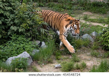 a big tiger calmly walking on the trail