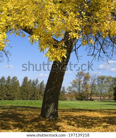 A big tree with yellow leaves in the middle of a field. - stock photo