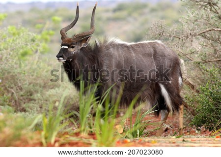 A big trophy Nyala / Inyala bull standing and posing in this image. - stock photo