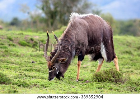 A big trophy Nyala / Inyala bull standing and posing in this image.