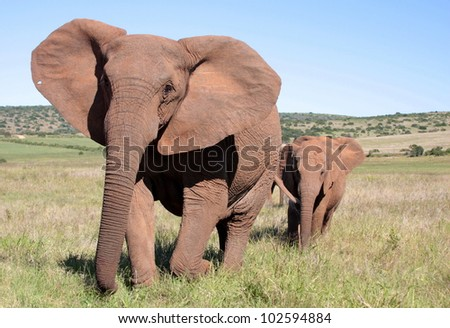 A big tuskless female elephant leading her calf in Addo elephant park,eastern cape,south africa. - stock photo