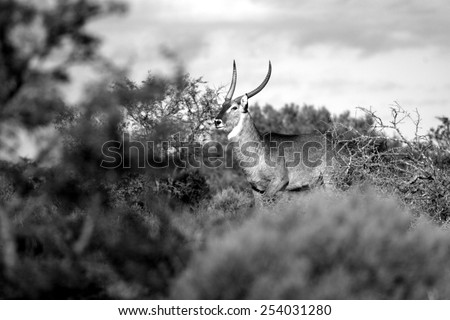 A big waterbuck bull in this image. South Africa. - stock photo