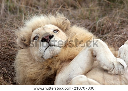 A big white lion stares at the camera while rolling over. - stock photo