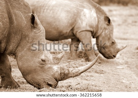 A big white rhino / rhinoceros grazing in the foreground, with another rhino in the background. - stock photo