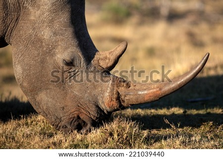 A big white rhinoceros grazers in this close up image. - stock photo