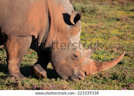 A big white rhinoceros grazers while covered in mud in this close up image. - stock photo
