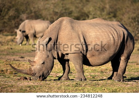 A big white rhinoceros / rhino with another rhino faded in the background - stock photo
