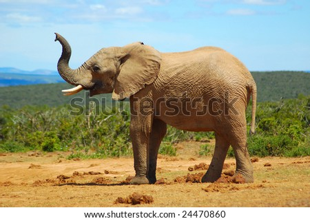 A big wild African elephant trying to smell the herd by lifting up his trunk in the air in a game park in South Africa - stock photo