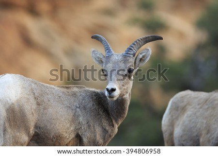 A Bighorn Sheep ewe crosses the highway in Zion National Park, Utah, USA. - stock photo