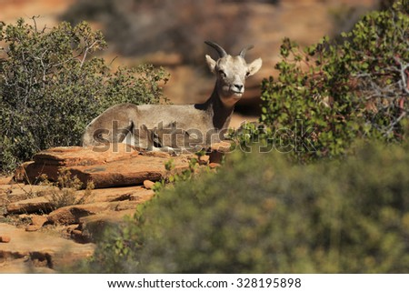 A bighorn sheep rests on the rocks in Zion National Park, Utah. - stock photo