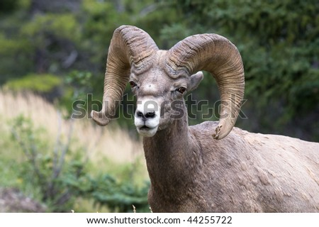 A bighorn sheep taken from a small distance, somewhere in the Rockies - stock photo