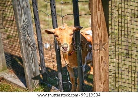 A billy goat pokes its head through fence at apple orchard farm in Illinois - stock photo