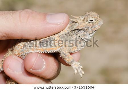 A biologist holding an adult desert horned lizard in the mojave desert.  - stock photo