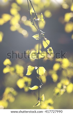 A birch leaves against the sun. Fresh leaves try to tell that the summer is coming after all. Some aphids are in the leaf. Image taken in Finland. Image also has a vintage effect. - stock photo