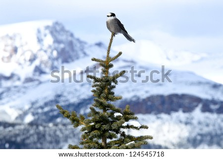 A bird is standing on top of a tree background snowy mountain - stock photo