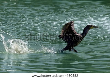 A bird running on the water elegantly.