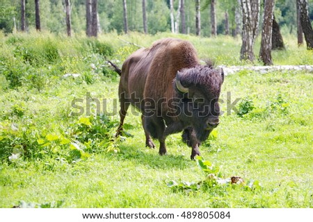 A bison in the field