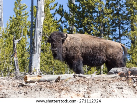 A bison in Yellowstone National Park. - stock photo