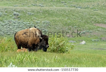 A Bison mom and baby calf grazes on green grass. - stock photo