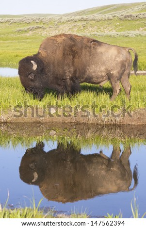 A bison stares at his reflection in clear blue water. - stock photo