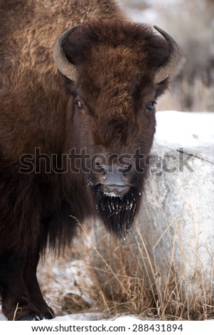 A bison stops scratching his head on a rock to look at photographer; full face view - stock photo