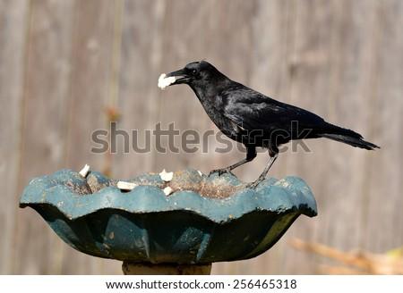 A black American Crow  (Corvus brachyrhynchos) eating bread in a birdbath. - stock photo