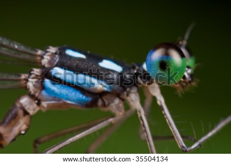 A black and blue damselfly up close