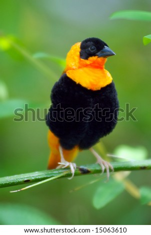A black and orange bird sits on a tree branch
