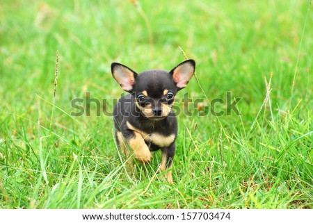 A black and tan purebred Chihuahua dog puppy standing in grass outdoors and staring (focus on dog's face). - stock photo