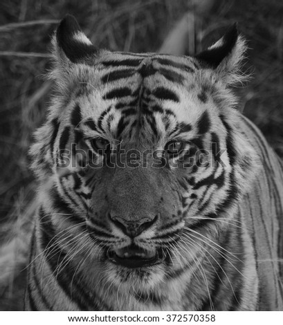 A black and white close up of a Male Bengal Tiger.Image taken at a national park in the state of Madhya Pradesh in India in the month of January in 2016 Scientific name- Panthera Tigris - stock photo